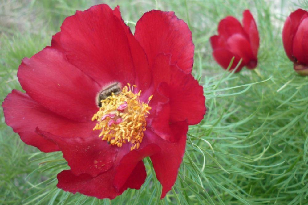 Пион тонколистный. Местное название – «лохмач». Занесён в Красную книгу. Цветёт в конце апреля – начале мая. В Волгоградской области растет на территории природного парка «Нижнехоперский».