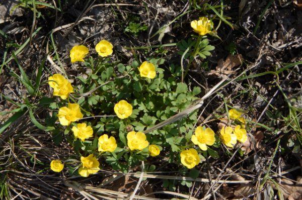 Лютик многокорневой. Цветет в апреле и мае. В Волгоградской области растет на территории природного парка «Щербаковский».