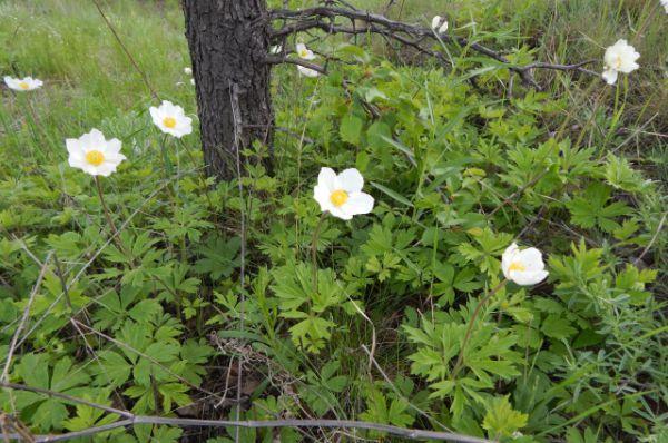 Ветреница лесная. Цветет с 1 по 25 мая. В Волгоградской области растет на территории природного парка «Щербаковский».
