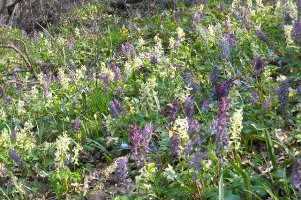 Хохлатка. Цветёт в марте-апреле, а плоды созревают в июле. В Волгоградской области растет на территории природных парков «Усть-Медведицкий», «Волго-Ахтубинская пойма», «Нижнехоперский».
