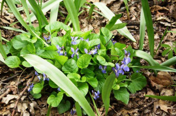 Фиалка приятная. Зацветает в мае. В Волгоградской области растет на территории природного парка «Донской».