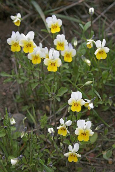 Фиалка полевая. Зацветает в мае. В Волгоградской области растет на территории природного парка «Волго-Ахтубинская пойма».