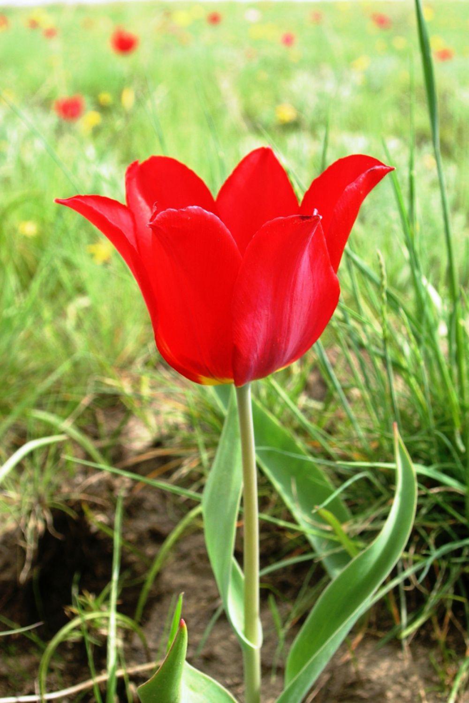 Тюльпан Геснера или лазоревый цветок. Занесён в Красную книгу. В Волгоградской области растет на территории природных парков «Усть-Медведицкий», «Донской», «Щербаковский», «Нижнехоперский».
