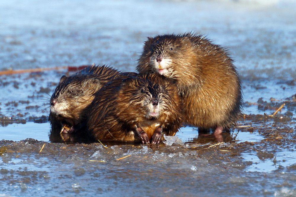 Ондатра или мускусная крыса хоть и распространена как в Северной Америке, так и в Евразии, тоже может исчезнуть.