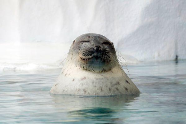 Помимо кольчатой нерпы под угрозой исчезновения еще 3 вида тюленей (морской заяц, гренландский тюлень и крылатка).