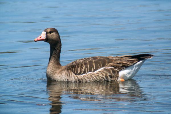 Сегодня популяции белолобого гуся ничего не угрожает, но вот как справится птица с изменением климата, вопрос сложный.