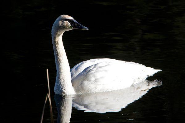 Американский тундровый лебедь лишь один из 162 видов птиц, которых мы рискуем потерять.