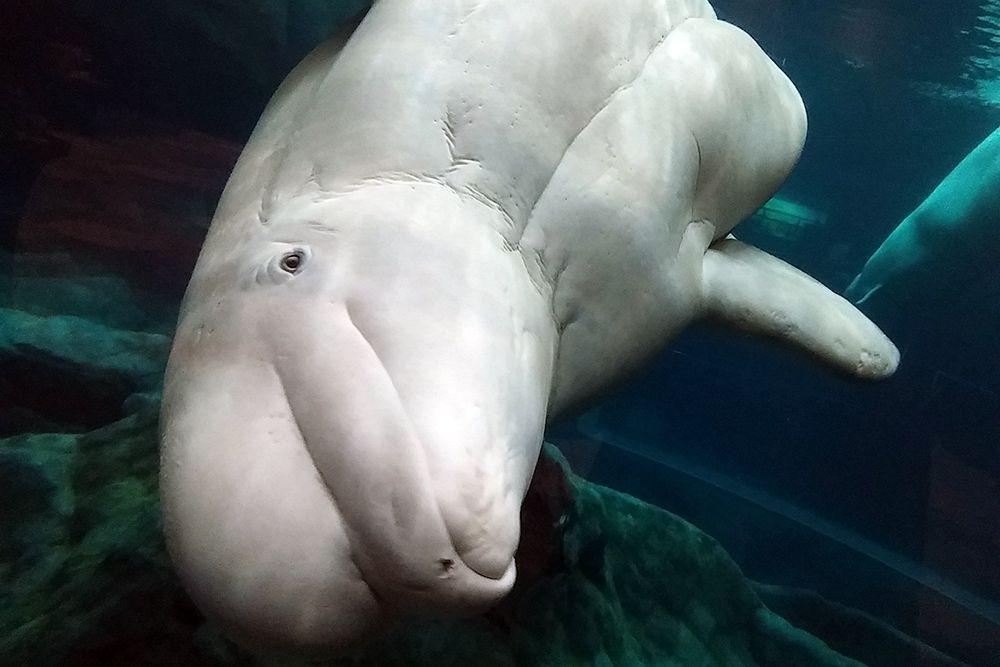 Помимо белухи человечество рискует потерять еще 3 вида китов (серый, гренландский и нарвал).