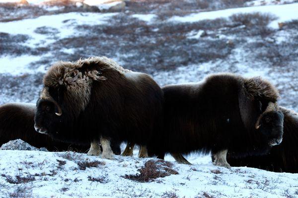 Под угрозой и самые крупные копытные Арктики – овцебыки.