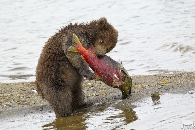 Медведь на охоте.