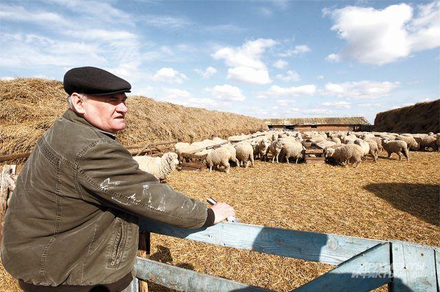 Вкуснейшее мясо и «золотое руно» российских овец на родине невостребованны.