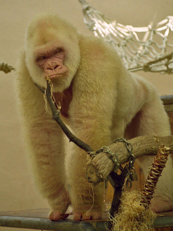 Альбиносы очень чувствительны к свету и ультрафиолету. Они быстро сгорают на открытом солнце. На фото обезьяна-альбинос.