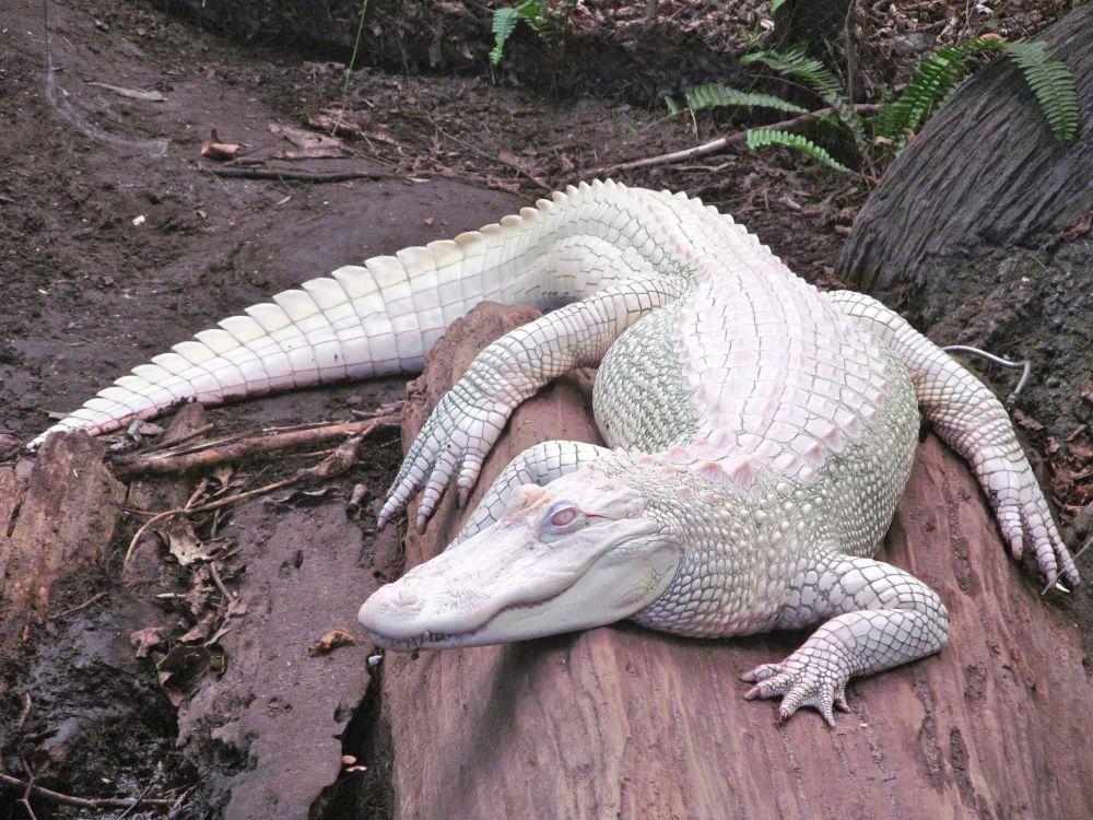 Врожденное отсутствие пигмента меланина, который придает окраску коже, волосам, оболочкам глаза, называется альбинизм. Поэтому альбиносы имеют белую кожу и волосы, а глаза, в основном, красные: это кровь в сосудах сетчатки. На фото аллигатор-альбинос.