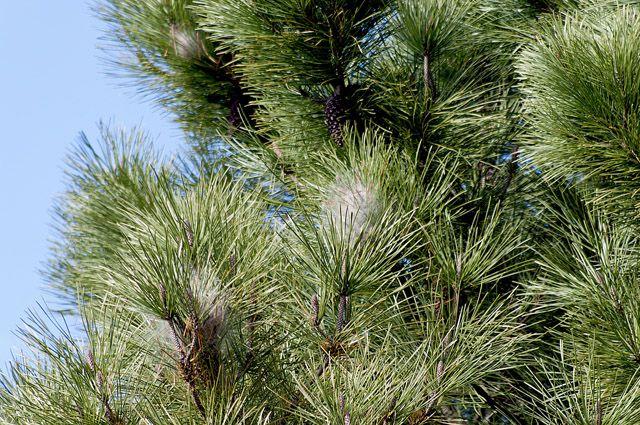 Сосновый лес буде высажен в форме надписи «70 лет Победы».
