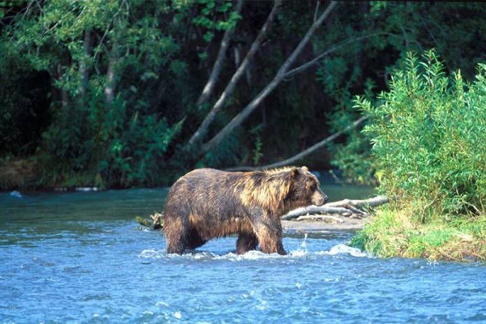 Река Шумная. И здесь косолапый - хозяин.
