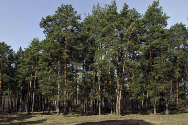 1,6 млрд кубических метров - общий запас древесины в Прикамье.