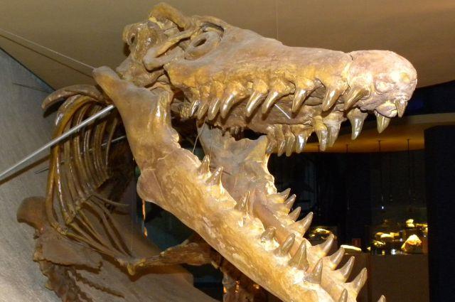 Скелет мозазавра.