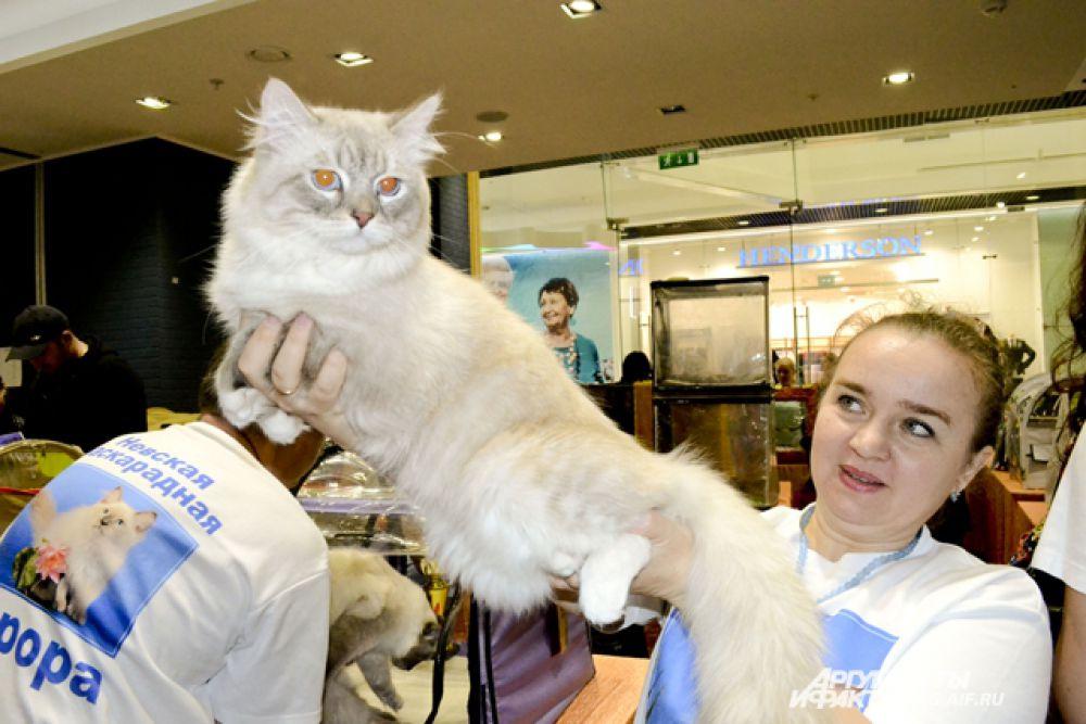 Аврора, сибирская кошка