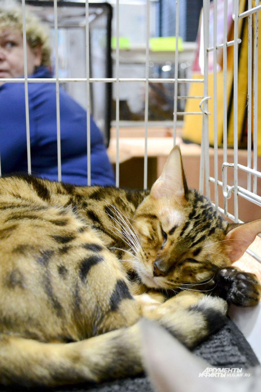 Мирра, бенгальская кошка, Астрахань