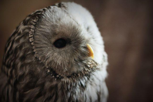 Фото предоставлено хозяйкой совы.
