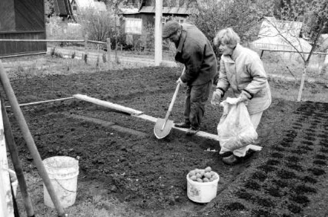 Многие прикамцы на своих участках уже посадили картофель.
