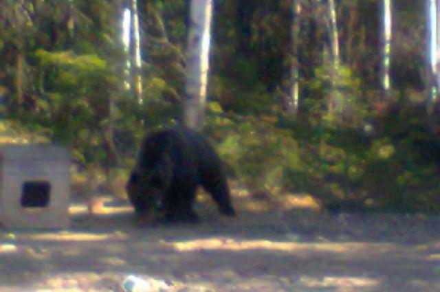 Молодой медведь на окраине деревни Ярки.