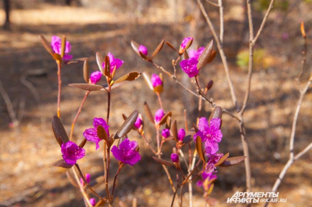 Растение исчезает из-за расширения землепользования и многочисленных лесных пожаров.