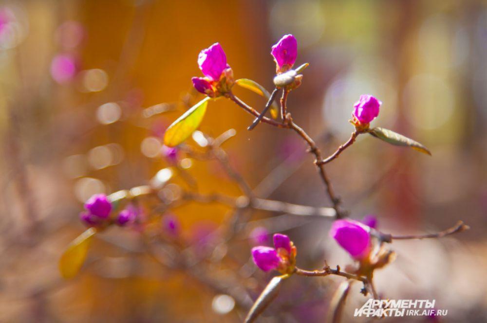 Бутоны рододендрона небольшие, яркого розового цвета.