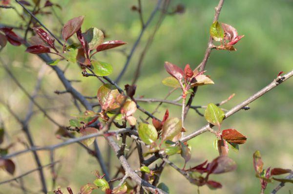 Яблоня Недзведского. Еще не начала цвести - деревце слишком молодое