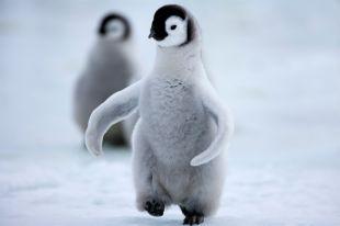 Из норвежского океанариума неизвестные украли птенцов пингвина