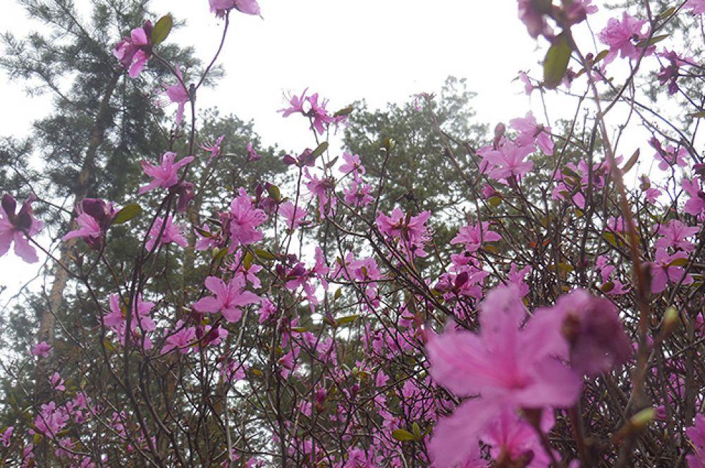 Этот нежный цветок - гордость нашего Забайкалья!
