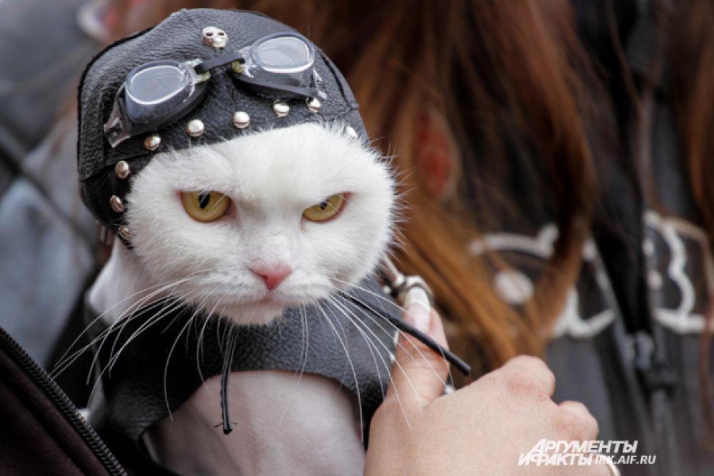 Неожиданным символом открытия мотосезона стал этот белый кот. По мнению многих присутствующих, он олицетворяет иркутского байкера - белый и пушистый, но суровый и весь в коже.