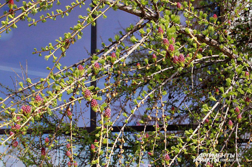 Чем дольше цветет лиственница, тем больше «цветок» начинает напоминать шишку. на ранних стадиях цветения он больше похож на хризантему.