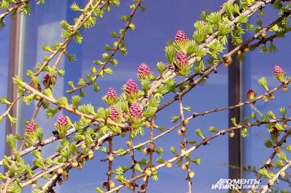 На ранней стадди цветения, шишки бледно-желтго цвета.