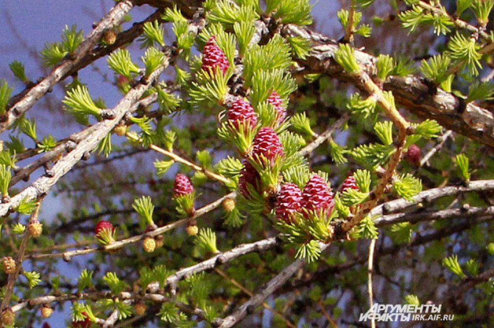 Нежно-розовый «цветок» лиственницы появляется из пучка хвои. Со временем, он созреет в небольшую шишку.