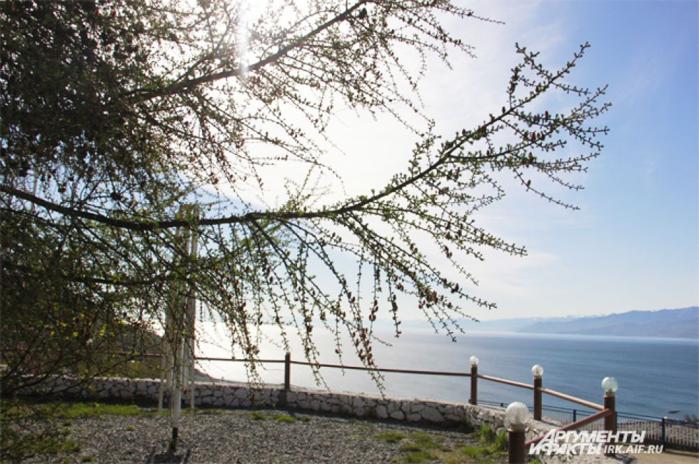 Эту лиственницу может увидеть любой автомобилист. Она растет на смотровой площадке поселка Култук, что на берегу Байкала.