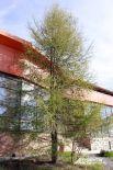 Лиственница в благоприятных условиях вырастает до 50 метров в высоту. А в диаметре ствол достигает одного метра. Дерево – настоящий долгожитель. Доживает до 400 лет.