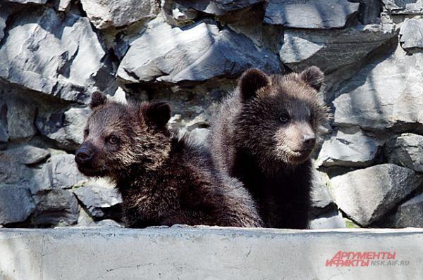 Да, недавно она тоже стала мамой этих очаровательных медвежат.