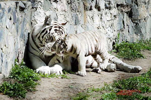 Этой весной мамой стала белая тигрица Зая.