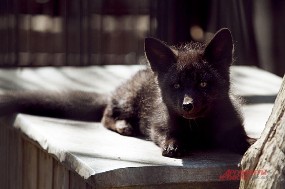 Это не щенок, а настоящий чёрный лисёнок!