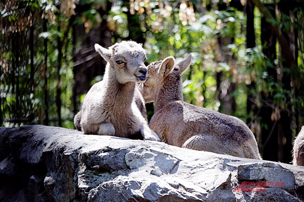 В конце апреля в семье дикого барана аргали родилась двойня.