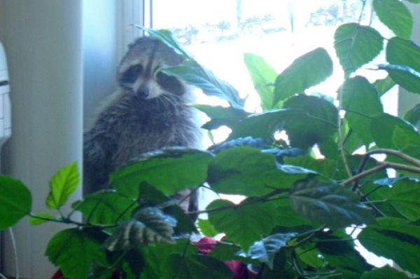 В офисе строительной фирмы енот пытался спрятаться за цветком.