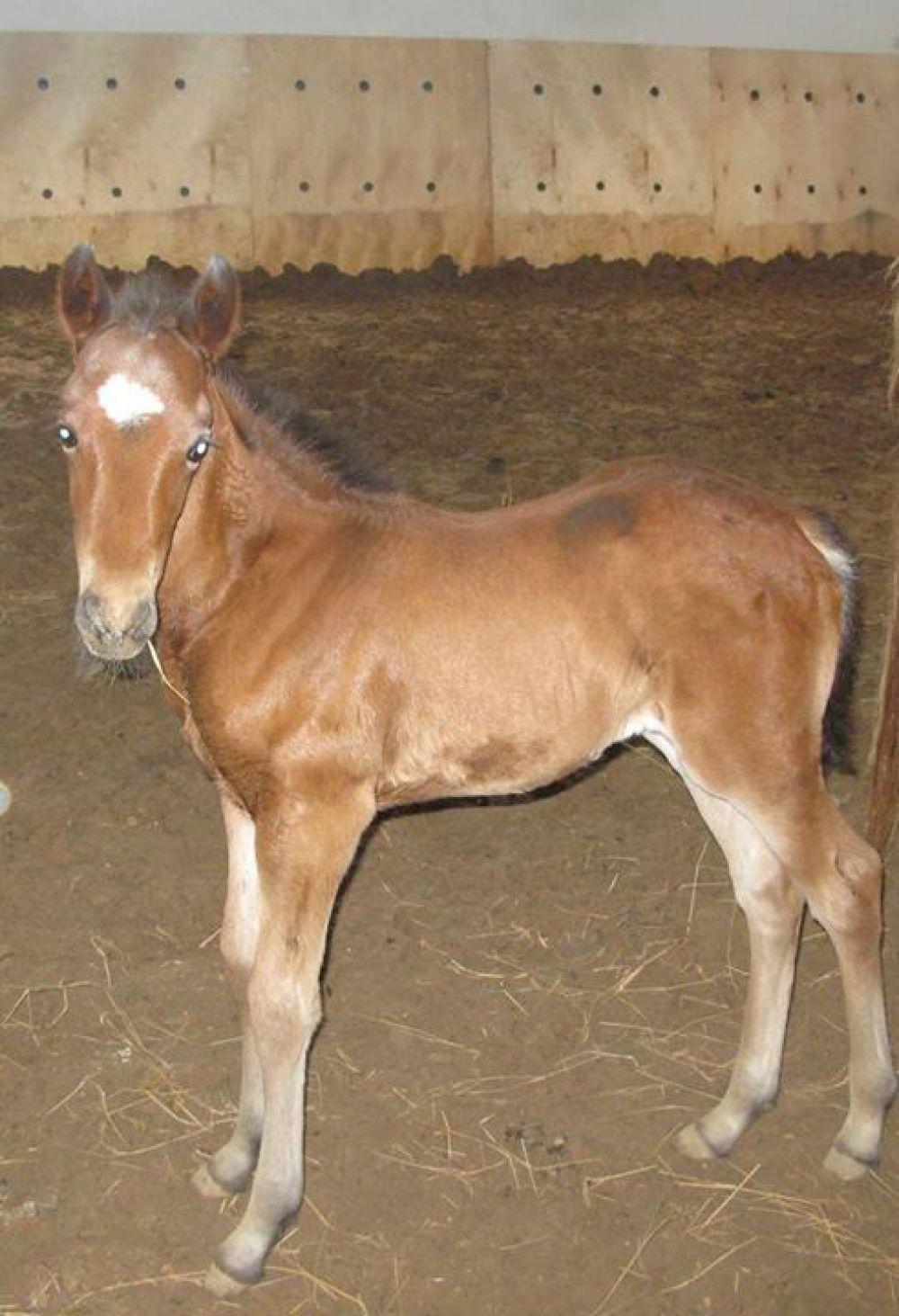 Первый жеребёнок конно-спортивного клуба - Лея, девочка.