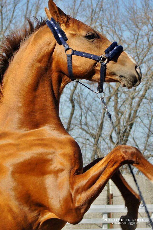 Конь Кристалл Будённовской породы - очень умный, легко поддаётся дрессировке.