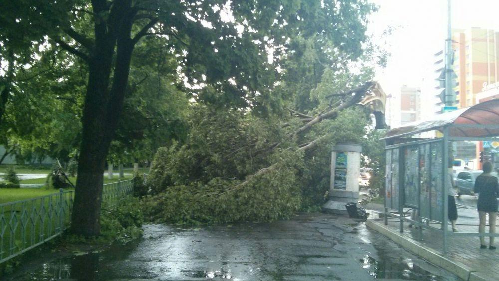 Поваленное ветром дерево у БГУ имени Петровского, Советский район.