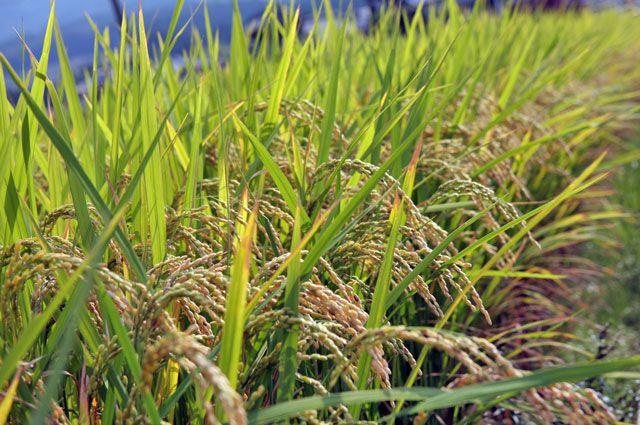 Рис посевной.