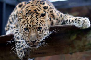 Двух леопардов поймали во дворе на северо-западе Москвы