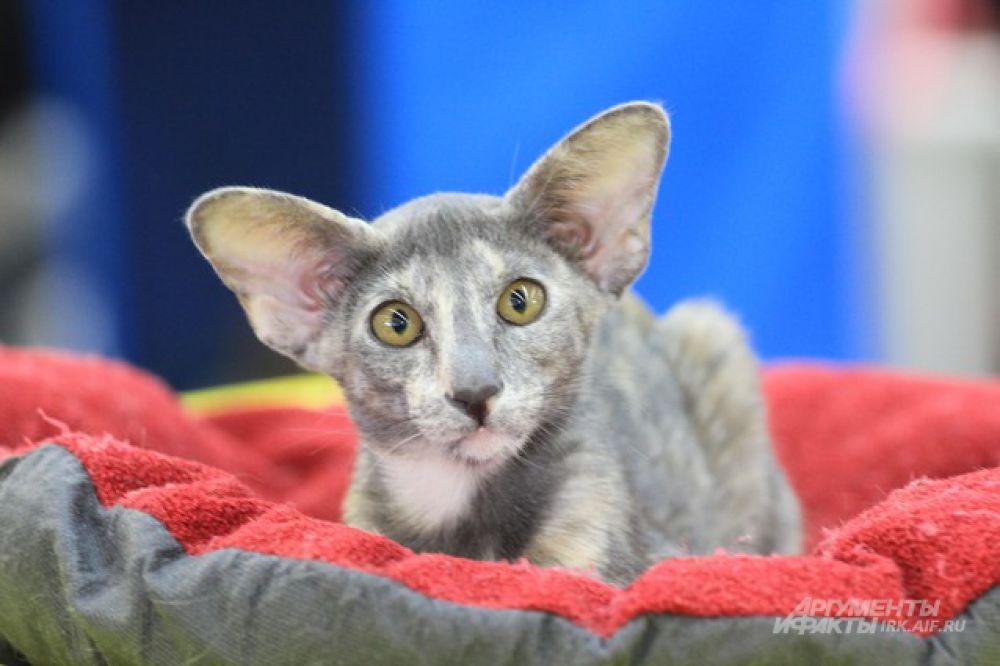 Зачем мне такие большие уши? Чтобы лучше... видеть!
