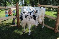 Эта бурёнка на площади Ленина в День молока вполне символизирует молочное животноводство – оно тоже сейчас в загоне