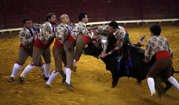 В общей сложности, в Forcados Portalegre собрано около 40 тореадоров, которые каждый день выходя на арену, где сражаются с быками. Опасность подстерегает их не только во время корриды. Так, Франциско Матиас погиб от удара в голову на тренировке.